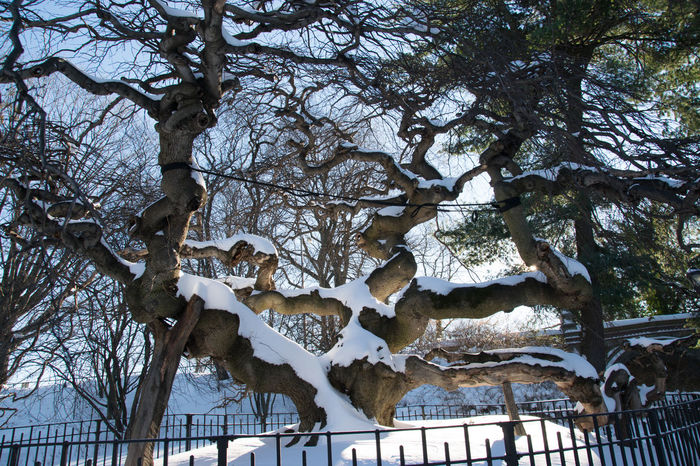 Camperdown Elm Tree Nature Park Prospect Park Snow On Trees Snowy Tree Tree Trees