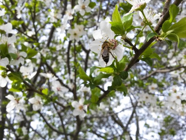Nature Tree Beauty In Nature Animal Wildlife Animals In The Wild One Animal Animal Themes Insect Leaf Growth Low Angle View Outdoors Branch No People Close-up Day Bee White Color Mothernature Natureporn Nature Photography Flower Tree Springtime