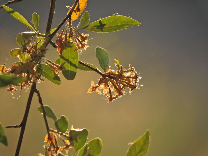 Russian Olive Tree Beauty In Nature Close-up Day Flower Focus On Foreground Fragility Freshness Green Color Growth Leaf Leaves Nature No People Outdoors Plant Plant Part Selective Focus Sunlight Sunlit Beauty Tranquility Tree Vulnerability