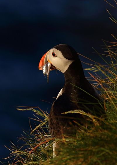 Animal Themes Animal Wildlife Animals In The Wild Bird Close-up Day Grass Nature No People One Animal Outdoors Puffin