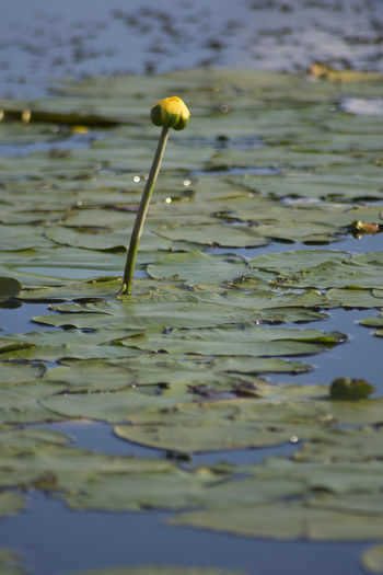 More photos from 2018 in the Berkshires, MA. This was a great year! I gonna miss this place! Hope you enjoy! :-) Water Lake Nature Day Flower No People Close-up Floating Selective Focus Beauty In Nature Plant Floating On Water Plant Part Outdoors Leaf Growth Flowering Plant Frog Kevin Giambertone EyeEmNewHere