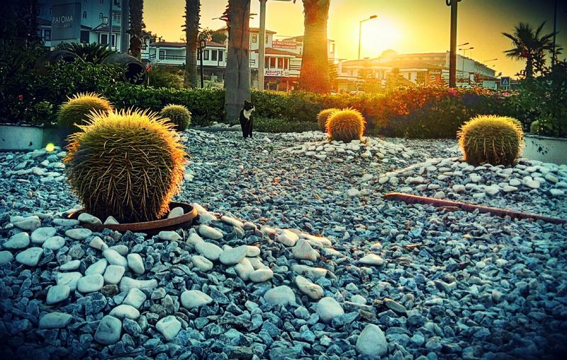 Cactus Growth Nature No People City Life Cityscape Evening Time Sunset Collection Sunsets Plants Summertime Plant Photography Cat Cat Photography Cactuses Cactuses🌵 Catlovers Cats Of EyeEm