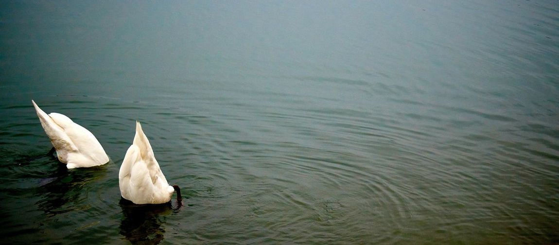 Panoramic shot of swans in rippled water
