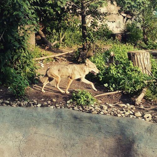 Wolf Very Dangerous Dangerous! Wild Wolf