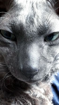 Cornish rex cat Close-up Looking At Camera Pets One Animal Domestic Animals Mammal Indoors  Cat Cat Photography Cat Eyes Cornish Rex Beautiful Animal Portrait. Elegant Cat EyeEmNewHere EyeEmNewHere