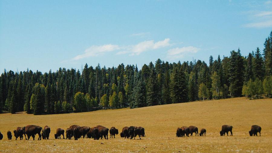 Bison grazing in field