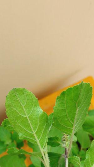 Healthy Tulasi.. Healthy Eating Tulasi  Shot_on_moto_g3 Leaves Green Leaves Worship Healthy Leaves Ayurvedic Medicine Spiritual Plant Medicine Leaves in Nellore , Andhra Pradesh , India