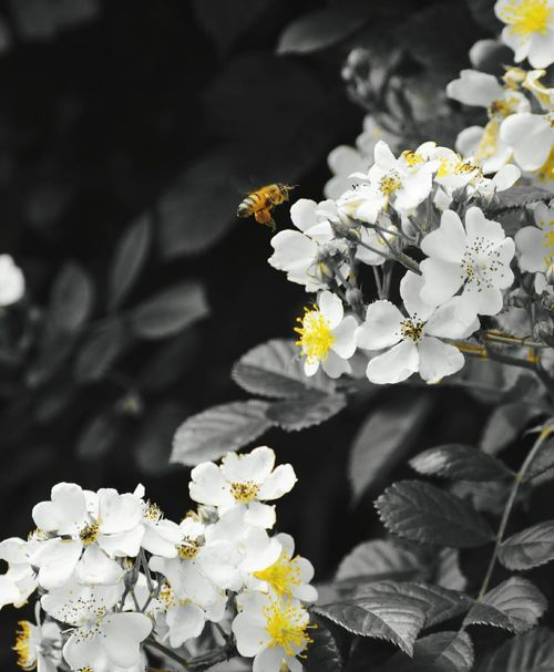 Ape Bee 🐝 Bee Polline Pollinedeifiori Pollen Pollenation Yellow Yellow Flower Yellow Flowers Blackandwhite Black And White Flowers Flowers, Nature And Beauty