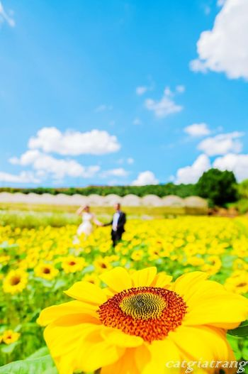 Flower Nature Yellow Flower Head Plant Field Botany Agriculture Focus On Foreground Growth Beauty In Nature Fragility Blossom Rural Scene Crop  Sky Sunflower Cloud - Sky Outdoors Day Paint The Town Yellow Lost In The Landscape