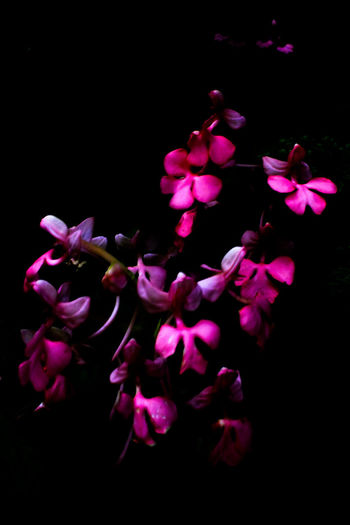 Snapdragon at Mun dang8 Flower Black Background Petal Flower Head Pink Color Nature Beauty In Nature Fragility Plant No People Freshness Growth Close-up Orchid Outdoors Day EyeEmNewHere The Week On EyeEm Nature Reserve Forest Wild Flowers Snapdragon Beauty Freshness Beauty In Nature