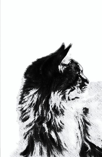Monochrome Photography cat Animal Themes Black And White One Animal No People White Background Day Pets Domestic Animals Indoors  Maine Coon Cat Brescia, Italy Brescia Mainecoons