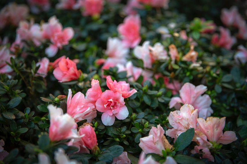 好心情(1) Flower Flowering Plant Beauty In Nature Plant Freshness Pink Color Petal Close-up Outdoors Flower Head Nature Inflorescence Vulnerability  No People Fragility Selective Focus Growth Day Botany High Angle View