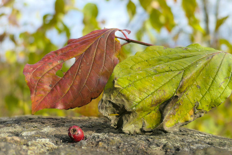 Close-up view of a green and red leaf with a dried rosehip in the foreground on a rock - Rosa canina Green Color Orange Color Red Color Rosehip Rosa Canina Dry Dried Natural Pattern Nature Very Close In Wilderness Stone Rock Autumn Leaves Leaf Vein Background Focus On Foreground Leaf Close-up