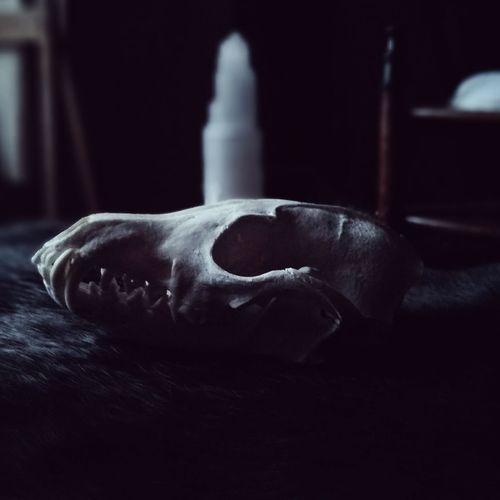 Fox skull Skulls And Bones Skull Skulls Fox Foxskull Bonewitch Bones Witchy Witchcraft  Witch Witches Witchboy Boywitch Product Photography Art Nature Death Indoors  Blur No People Close-up Day