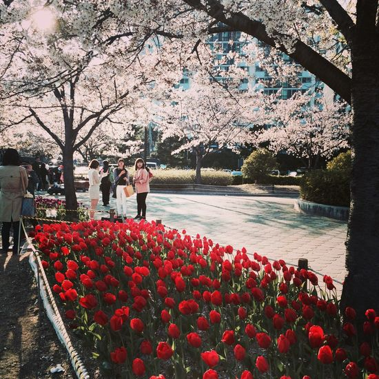 cherry blossoms and tulips in jinhae south korea Landscape #Nature #photography EyeEm Flower