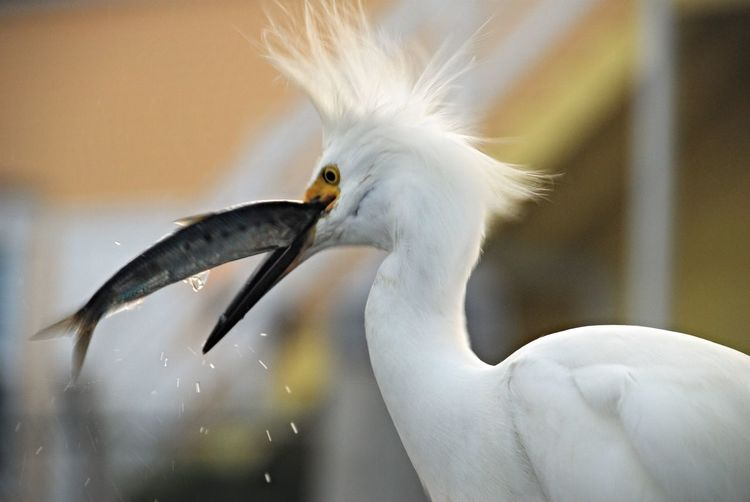 Close-Up Of Snowy Egret Hunting Fish