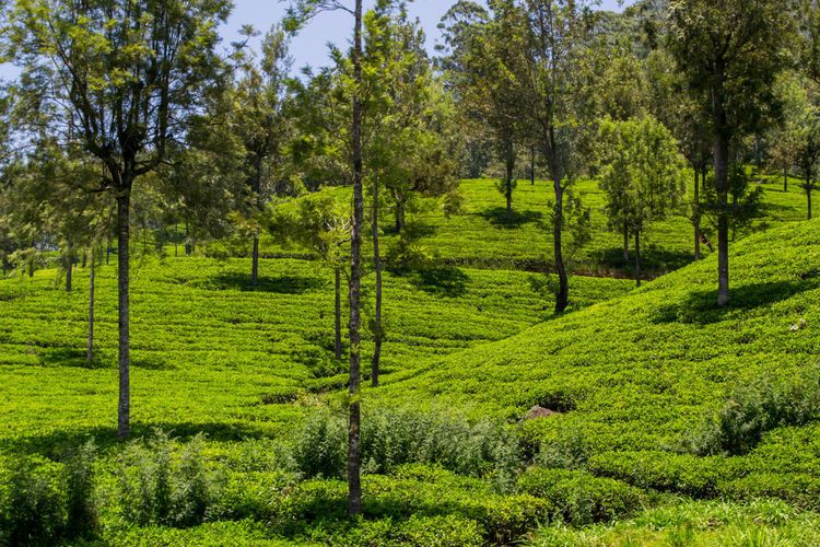 Beauty In Nature Day Environment Foliage Forest Grass Green Color Growth Land Landscape Lush Foliage Nature No People Non-urban Scene Outdoors Plant Scenics - Nature Tea Plant Tea Plantation  Tea Plantation Terrace Tranquil Scene Tranquility Tree