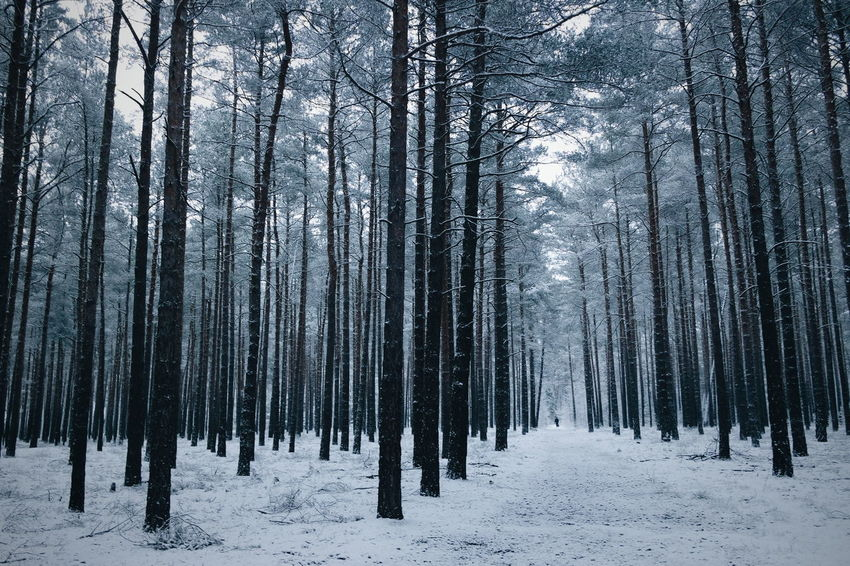 Snow Winter Cold Temperature Tree Nature Pine Tree Forest Tranquility Beauty In Nature Pinaceae Outdoors Frozen Tranquil Scene Scenics Day No People Landscape Tree Trunk Shades Of Winter