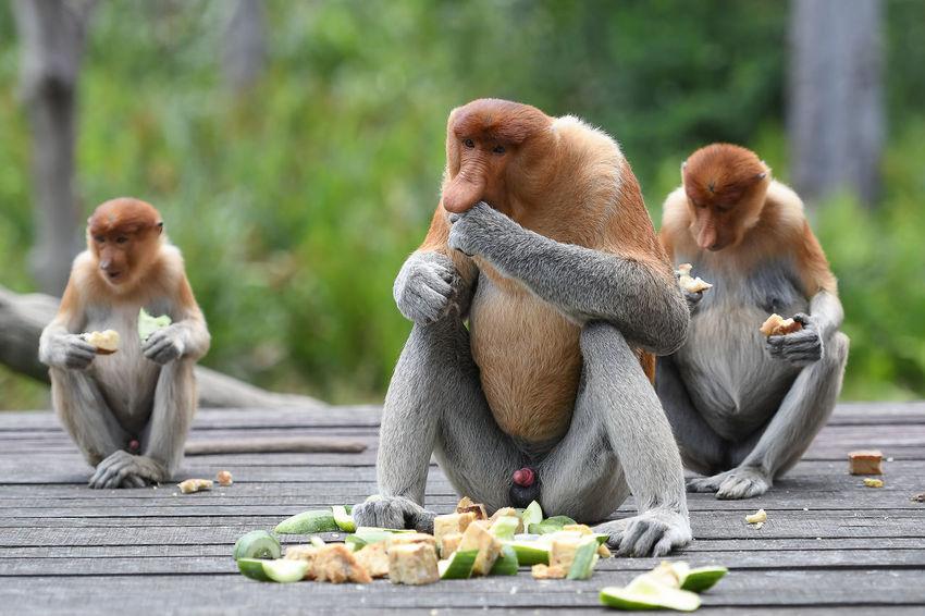 Proboscis Monkey Labuk Bay Sabah Borneo Sabah Tourism Portrait Sandakan Animal Themes Animals In The Wild