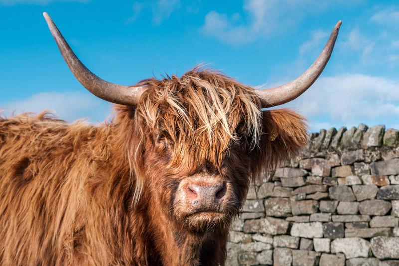 Highland cow on baslow edge, peak district.