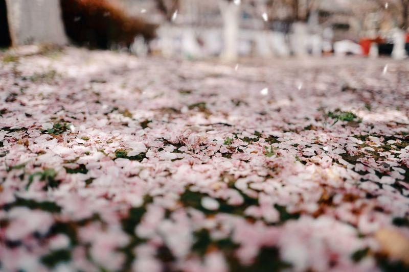 桜-1 🌸