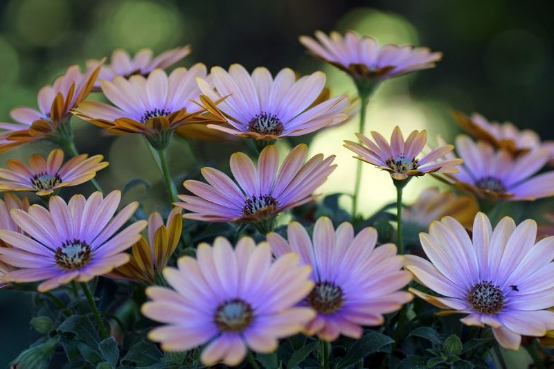 Multi Colored No People Close-up Daisybushes Flower Head Osteospermum Teospermumflower African Daisy Daisybushes Beauty In Nature Plant Flower Nature