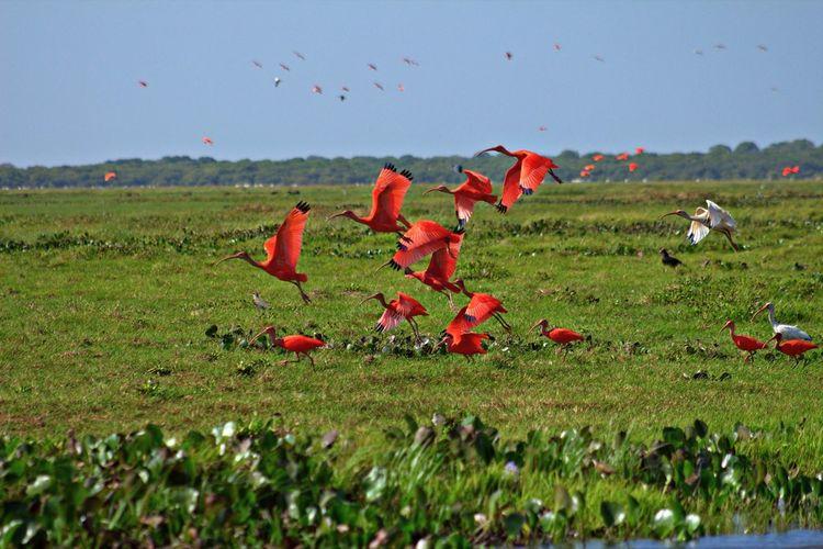 Scarlet Ibis | Corocoras rojas (Eudocimus ruber) Apure Aves Birds Corocoras Corocoras Rojas Eudocimus Ruber Hato El Cedral Scarlet Ibis Venezuela