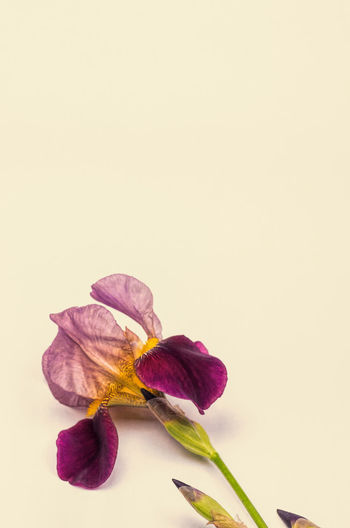 iris still life Iris Beauty In Nature Botanical Species Close-up Copy Space Flower Flower Head Flowering Plant Fragility Freshness Indoors  Inflorescence Iris Germanica Nature No People Petal Pink Color Plant Purple Studio Shot Vulnerability  White Background Yellow