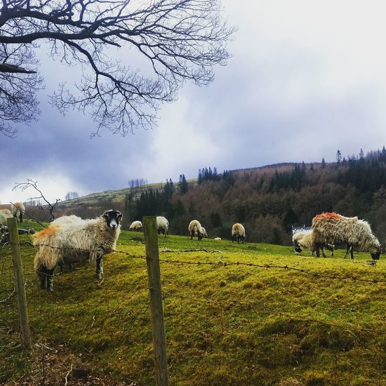 Flock of sheep grazing at pasture against cloudy sky