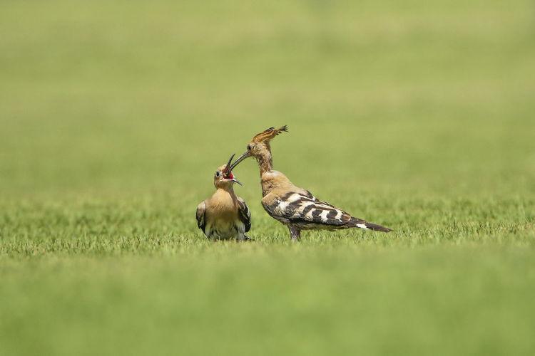 Close-Up Of Hoopoe Feeding Young Bird
