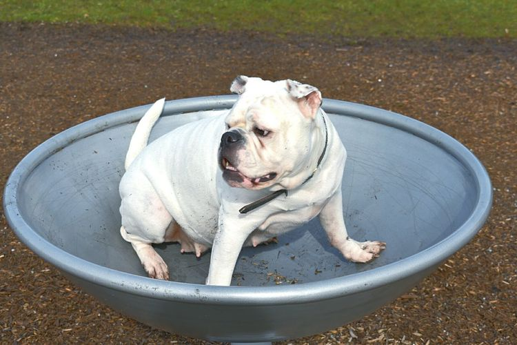 One Animal Mammal Dog Pets Animal Themes Domestic Animals High Angle View English Bulldog Outdoors No People Day Bulldogs Protruding Fun Front View Happiness