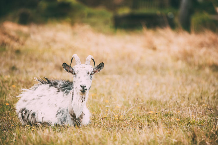 Goat Sitting In Spring Grass In Village. Farm Animal. Young White Summer Spring Rural Pet Pasture Park Nature Meadow HEAD Green Grass Goat Farm Cute Beautiful Animal Agriculture Sitting