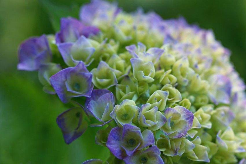 飛行機は撮れなかったけど、紫陽花見つけた♡ Flowers Flower 紫陽花Photo に今日もお疲れ様でした🎵 紫陽花2015Photo
