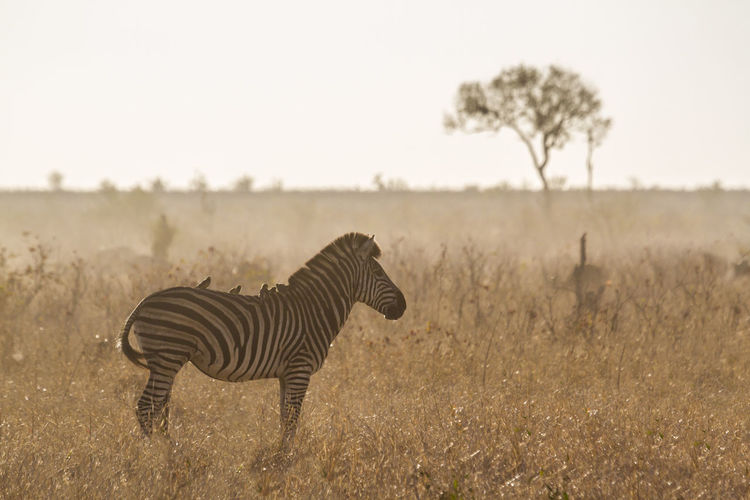 Zebra standing on land against clear sky at sunset