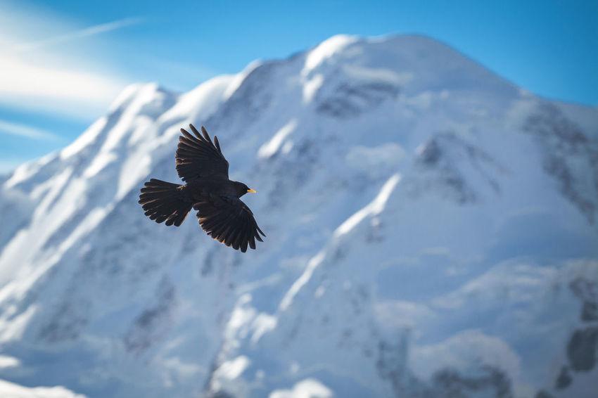 Swiss Alps. Alps Animal Wildlife Animals In The Wild Bird Europe Flying Mountain Nature One Animal Outdoors Snow Spread Wings Swiss Alps Switzerland Crow Black Bird Freedoom  Winter Wildlife Sky