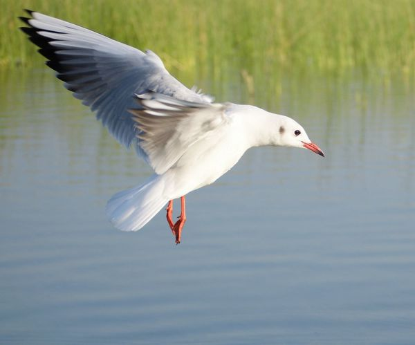 Seagull Beauty In Nature Bird Close-up Day Flying Lake Nature No People Outdoors Spread Wings Water