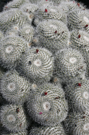 Full frame shot of succulent plants during winter