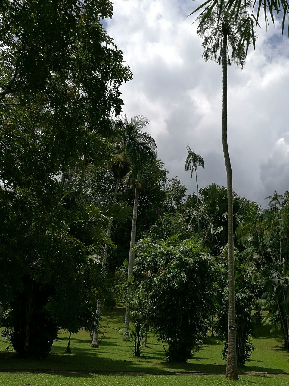 tree, palm tree, growth, green color, nature, tranquility, beauty in nature, sky, no people, day, cloud - sky, grass, outdoors, scenics, branch
