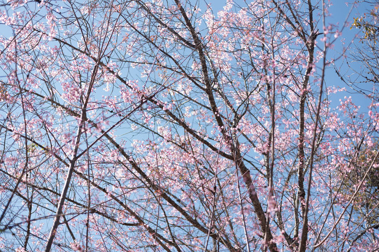 BEAUTIFUL SAKURA AND BLUESKY Japan Sakura Backgrounds Bare Tree Beauty In Nature Blossom Branch Cherry Blossom Cherry Tree Day Flower Flowering Plant Fragility Growth Low Angle View Nature No People Outdoors Pink Color Plant Sky Springtime Tree