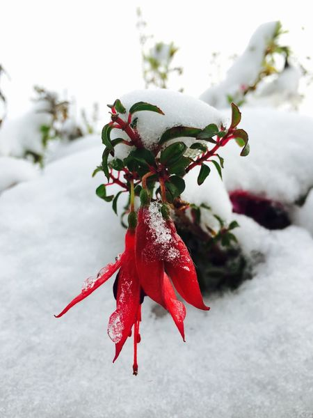 Red Winter Close-up Focus On Foreground Snow Nature Cold Temperature Growth Beauty In Nature Freshness Day Outdoors No People Fragility Flower Head After Snowing Day