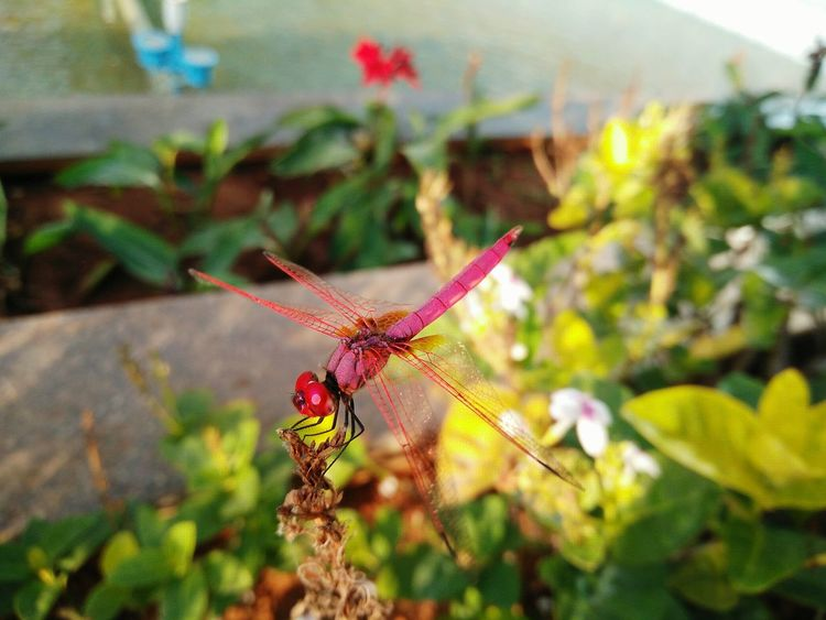 Beautiful dragon fly... Plant Focus On Foreground Flower Close-up Nature Leaf No People Insect Outdoors Beauty In Nature Fragility Freshness Flower Head RBK OnePlusX Smartphonephotography Flowerporn Dragonfly Dragonflies Dragonfly_of_the_day Helicopter Fly Flying Insect Red Insect Red Red Dragonfly