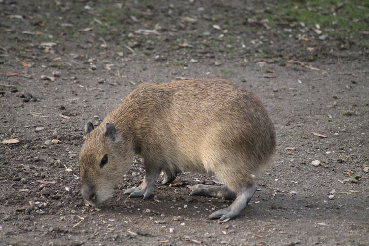 Side view of capybara on land