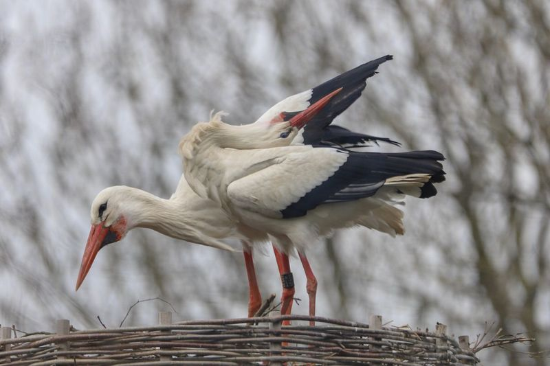 Love is in the air! Spring Love Birds Bird Photography Eyemphotography Bird Animal Animals In The Wild Animal Themes Animal Wildlife Vertebrate One Animal Focus On Foreground Nature Stork Outdoors