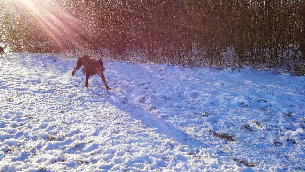 Animals Mydog Thoung Zunge Raus Beauceron Hunde Dog Ilovemydog Mydogsarecoolerthanyourkids Dogsofeyeem ZUNGE Berger De Beauce Sunlight Enjoying Life Schattenspiel  Shadow Sunshine Sonne Sonnenstrahlen Winter Snow