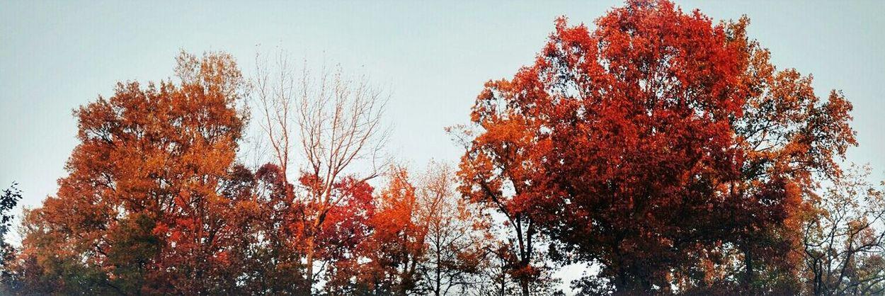 Fall Nature Tree Red Autumn Colors Red Autumn Autumn Leaves Orange Trees Leaves Red Trees Red Leaves Fall Leaves Nature Beauty In Nature Tree Fall Colors Outdoors Fall Season Falls Fall Foliage Fallweather Fall Leaves Panorama Panoramic Photography
