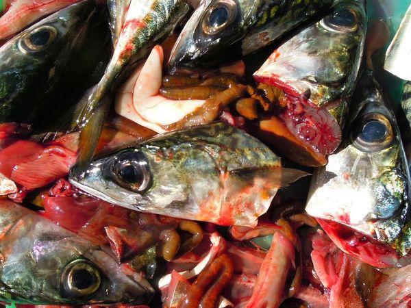 Fish Fishhead Fish Heads Gutting Fish Gore Sea Food Raw Food Guts