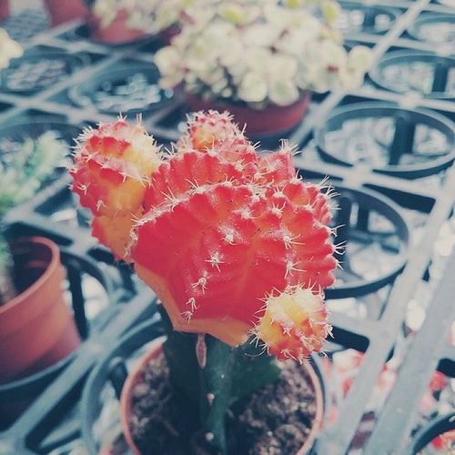 仙人掌 Plants