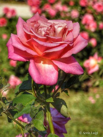 Rosa Rose🌹 Garden Flowers Rosa Flowerrose Flower Collection