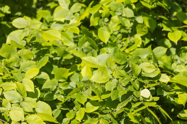 Close-up of fresh green leaves