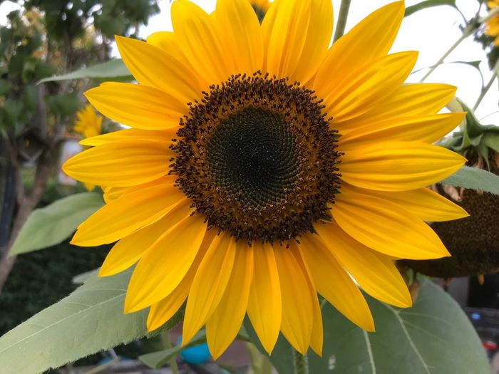 Pic Of The Week Mein Garten🌱 Nature_collection EyeEm Nature Lover Flower Head Yellow Flower Flowering Plant Inflorescence Petal Growth Fragility Vulnerability  Pollen Sunflower Close-up Freshness No People Day Plant Beauty In Nature Nature Outdoors